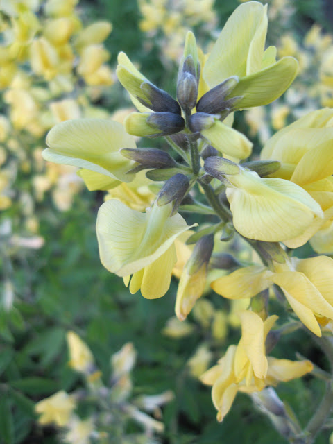 A closeup of the flowers on thermopsis chinensis 'Sophia'