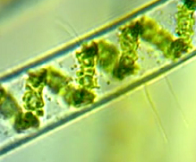 microalgae biofuel