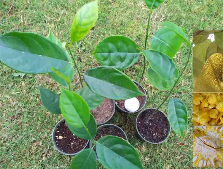 Jack fruit tree leaves