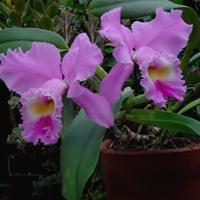 Orquidea-Cattleya-rebeca-flores-Alphaville title=