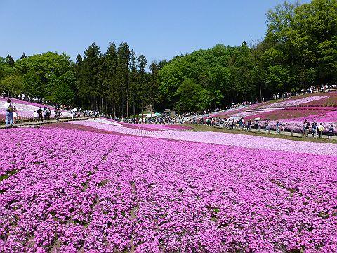 羊山公園内の芝桜