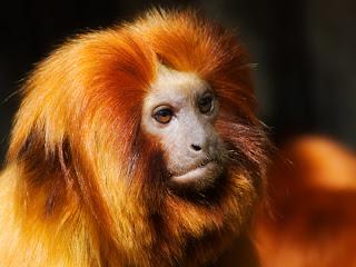 Ο «χρυσός» πίθηκος που μοιάζει με λιοντάρι