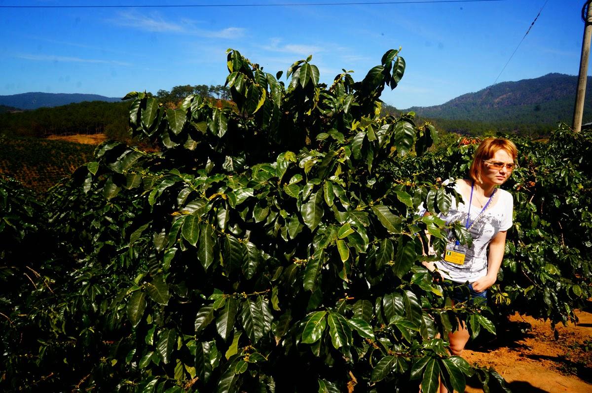 кофейные-деревья