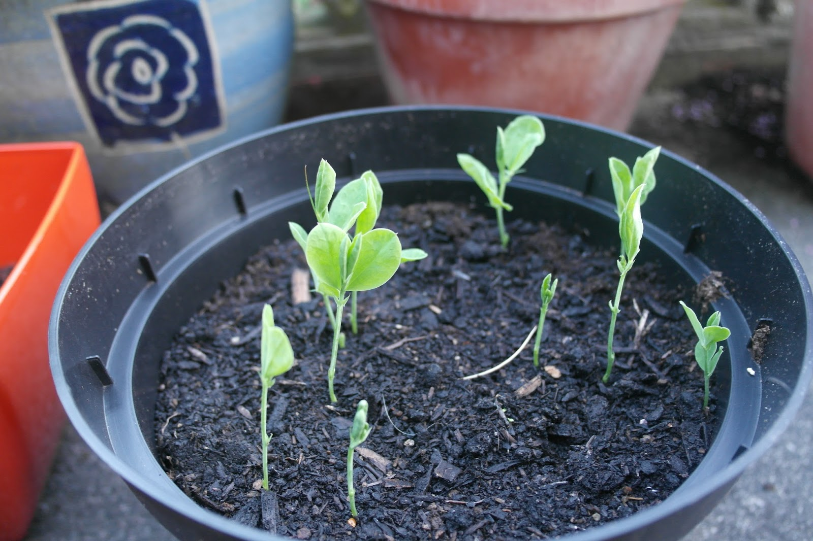 Sweetpea seeds