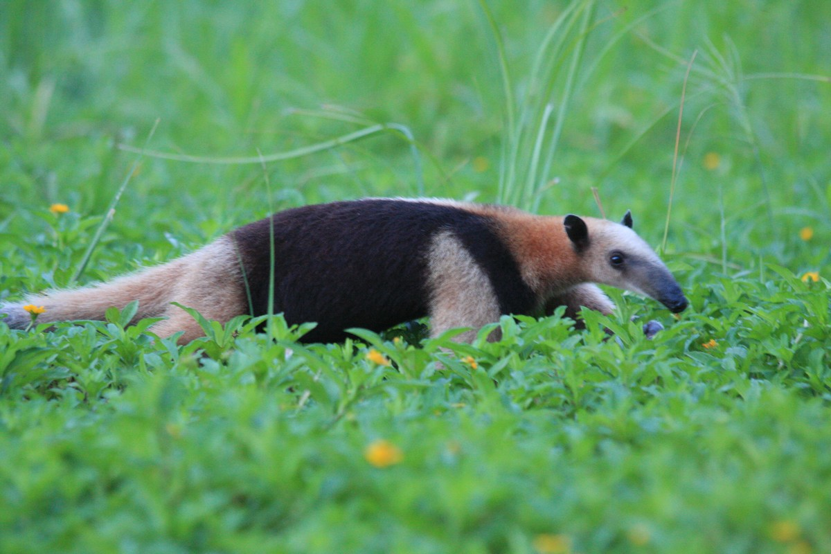 Wallpaper Collections Anteater