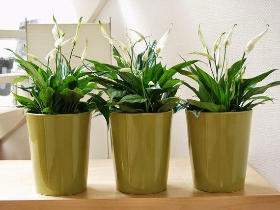 Fitorremediaci n del aire interior 10 plantas - Plantas de interior purificadoras del aire del hogar ...