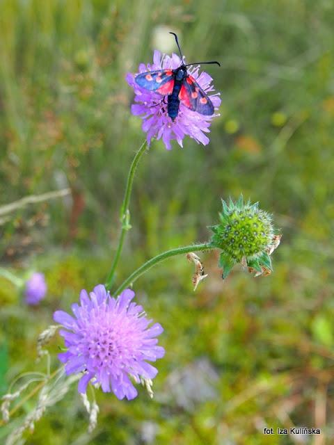 kraśnik pięcioplamek , motyle , motylek , motyl , podlasie , owady  , wycieczka , łąka
