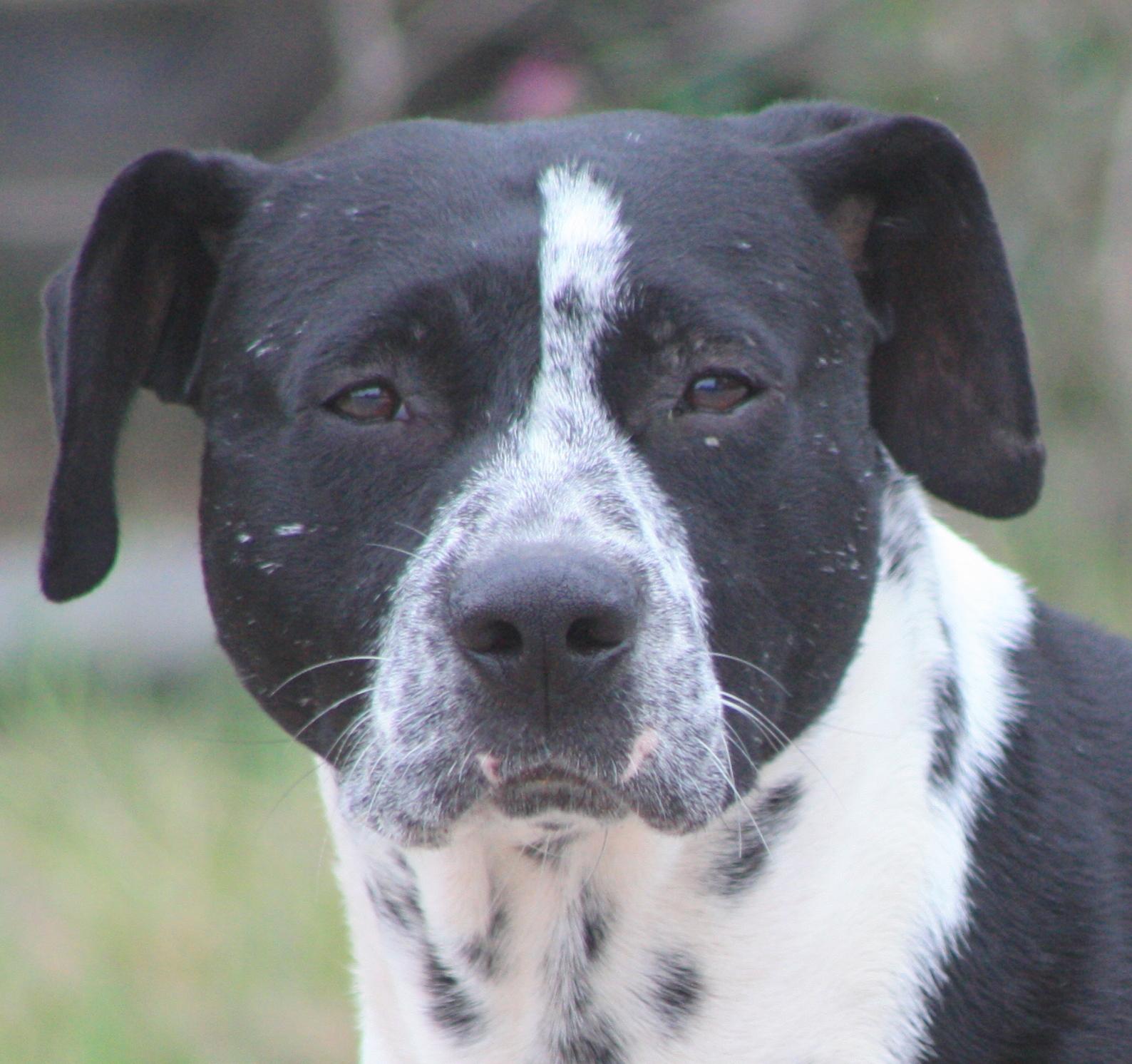 houston indie dog rescue hercules herc the staffie dalmatian mix