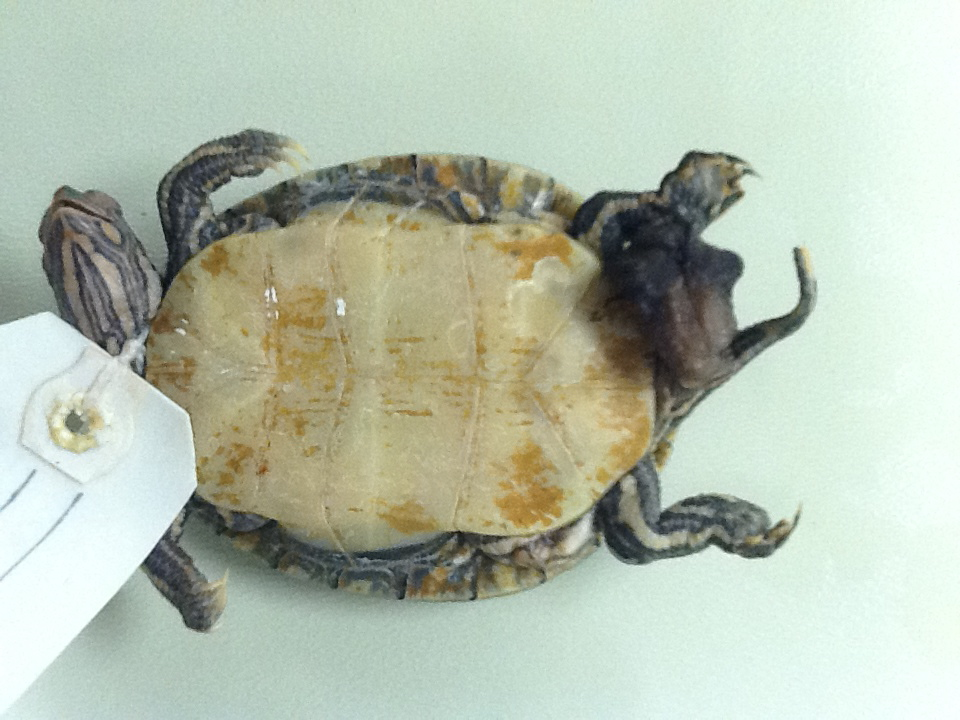 Biology of the Reptilia: Reptiles lab 2 - Turtles