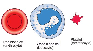 74 Blood cells  structure and functions   Biology Notes for IGCSE 2014