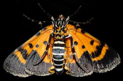 Pyralidae - Wikipedia