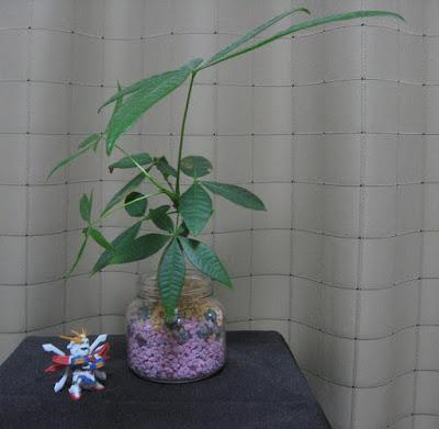パキラ(ハイドロカルチャー)の植え替え