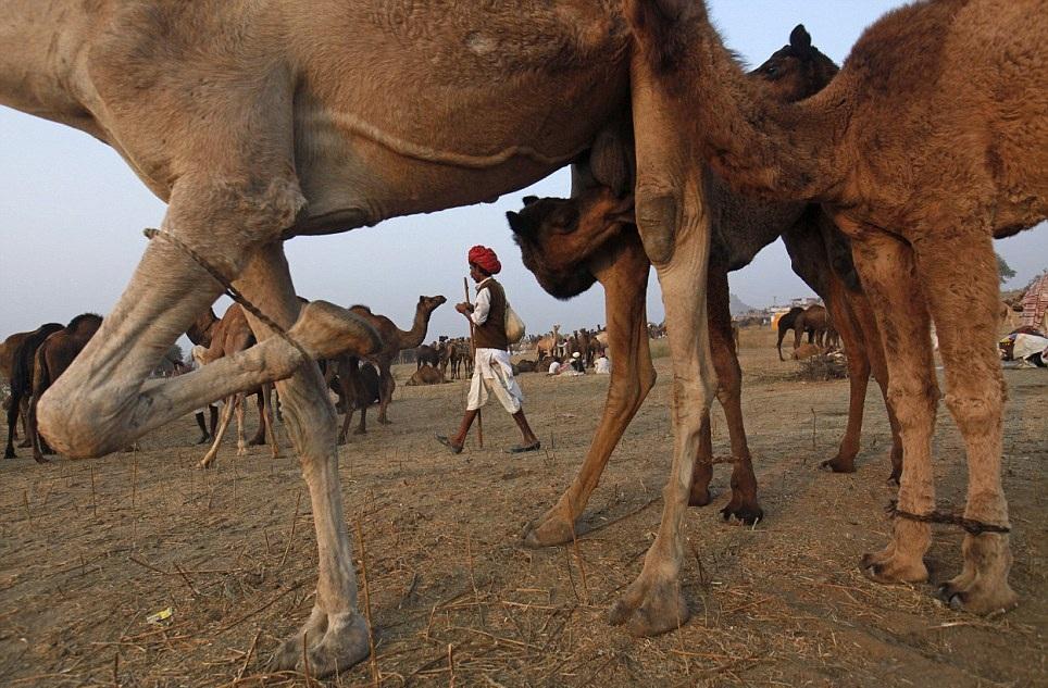Something Amazing World S Largest Camel Market