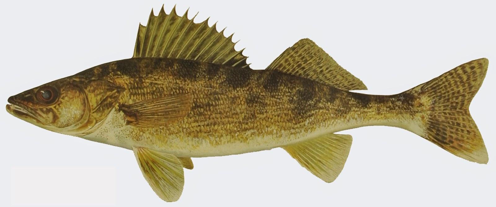Take it outside fish iowa iowa fish species perch family for Walleye fishing in iowa