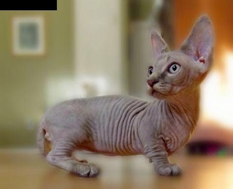 Top 5 Most Rare Cat Breeds