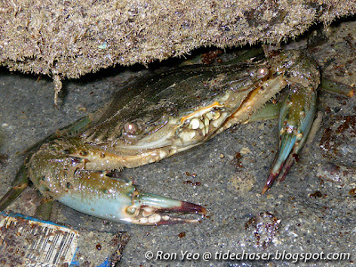 Crenate Swimming Crab (Thalamita crenata)