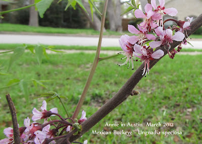 Annieinaustin,Mexican Buckeye in bloom