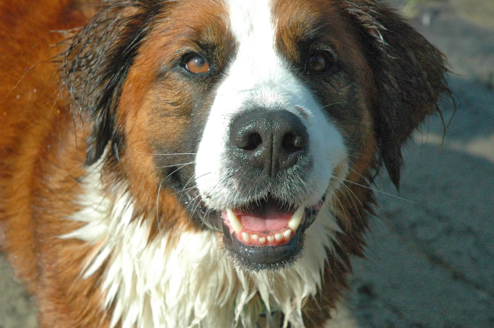 The trainable Saint Bernese mix