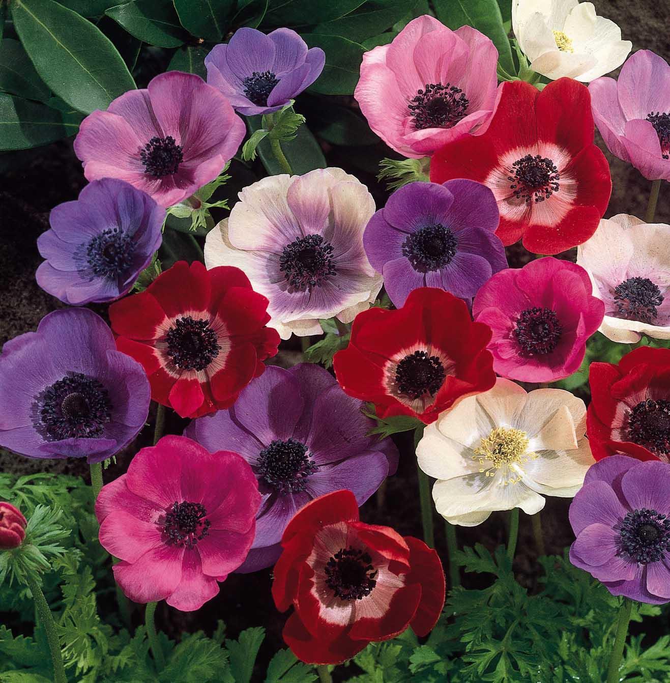 Tanti auguri, Tessa Anemone+flowers+wallpapers.+%282%29