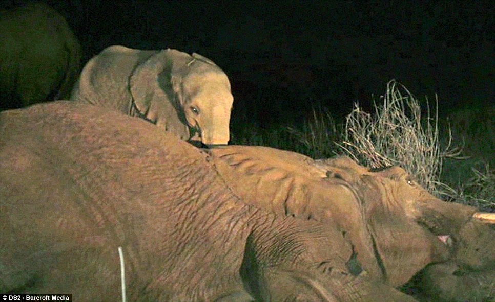 Elephant Calf Refusing To Leave His Dead Mother's Side