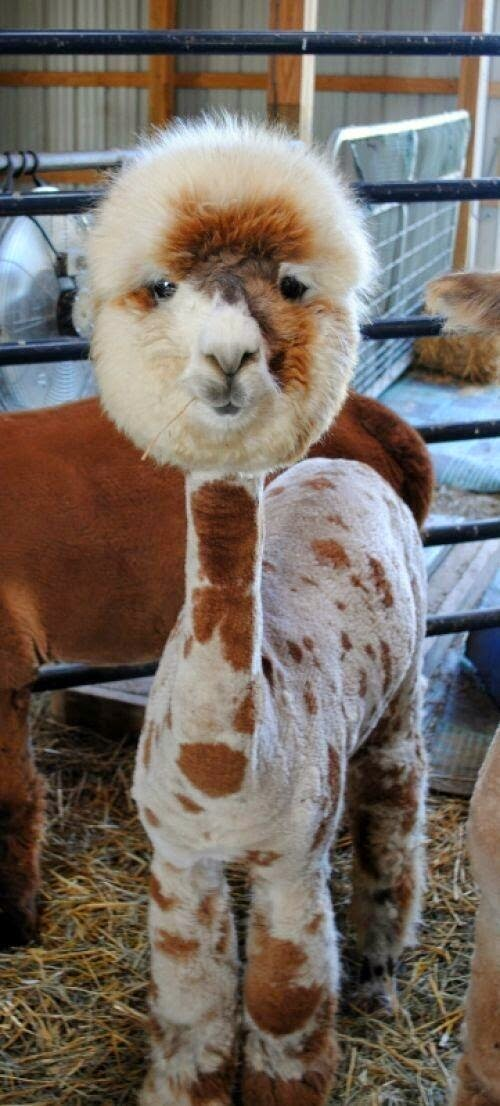 Cool hair style lama hahaha someone has nailed it - funny img