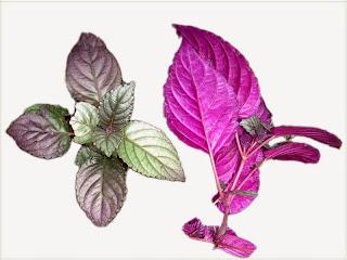 gambar-Hemigraphis-Colorata-tanaman-aquascape
