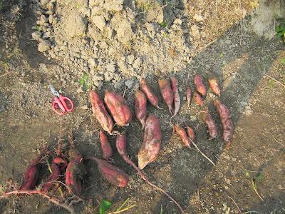 秋の芋堀り