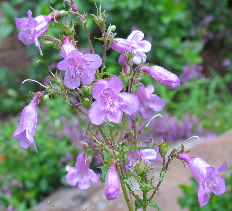 Using Georgia Native Plants Native Summer Perennials In Georgia