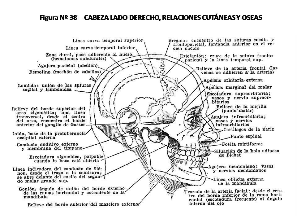 ATLAS DE ANATOMÍA HUMANA: 38. CABEZA, LADO DERECHO, RELACIONES ...