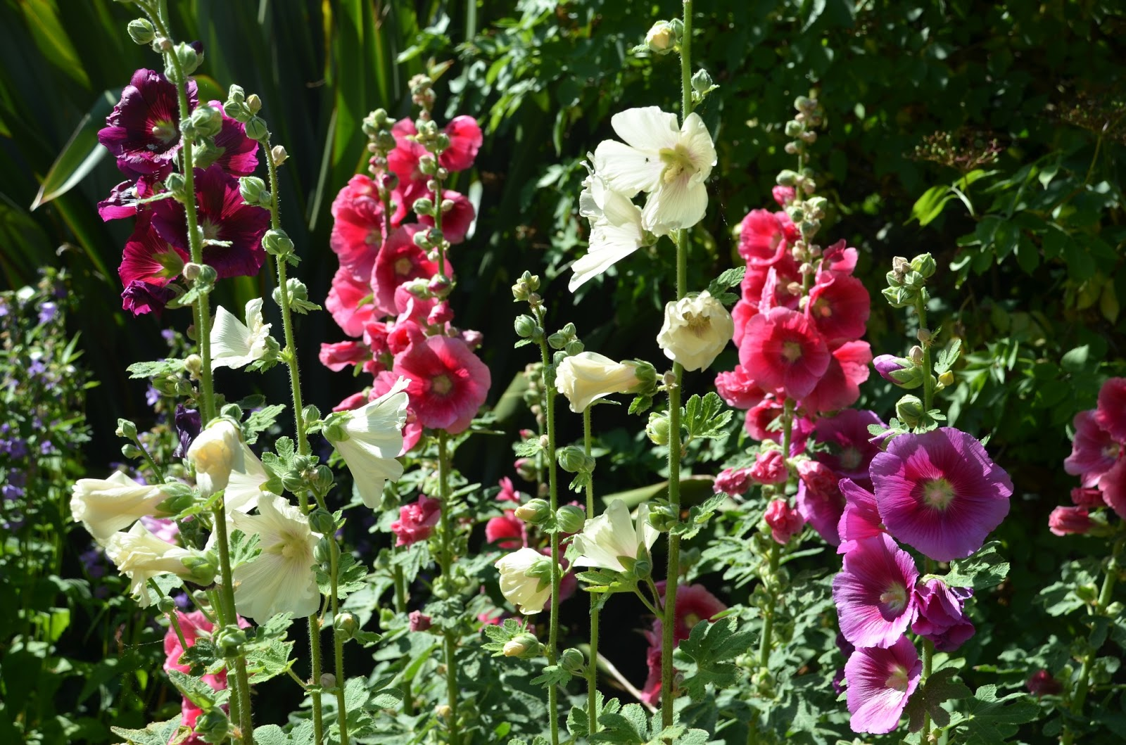 Old fashioned hollyhock seeds 32