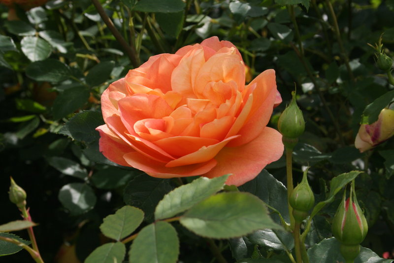 lady of shalott rose - photo #25