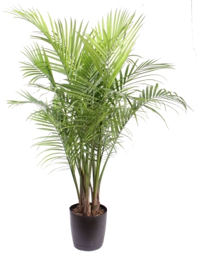 know what large indoor plants to buy so that your pets benefit as well. Black Bedroom Furniture Sets. Home Design Ideas