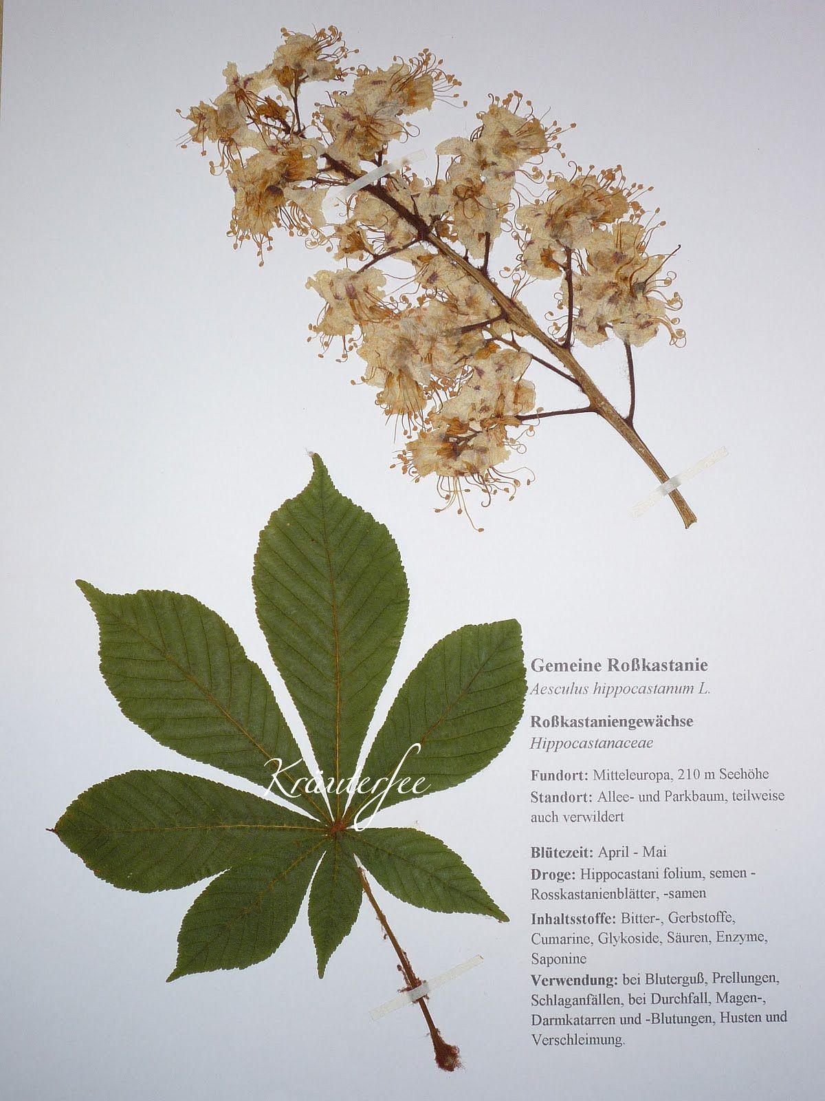 kr uterfee herbarbeleg gemeine rosskastanie aesculus hippocastanum l. Black Bedroom Furniture Sets. Home Design Ideas