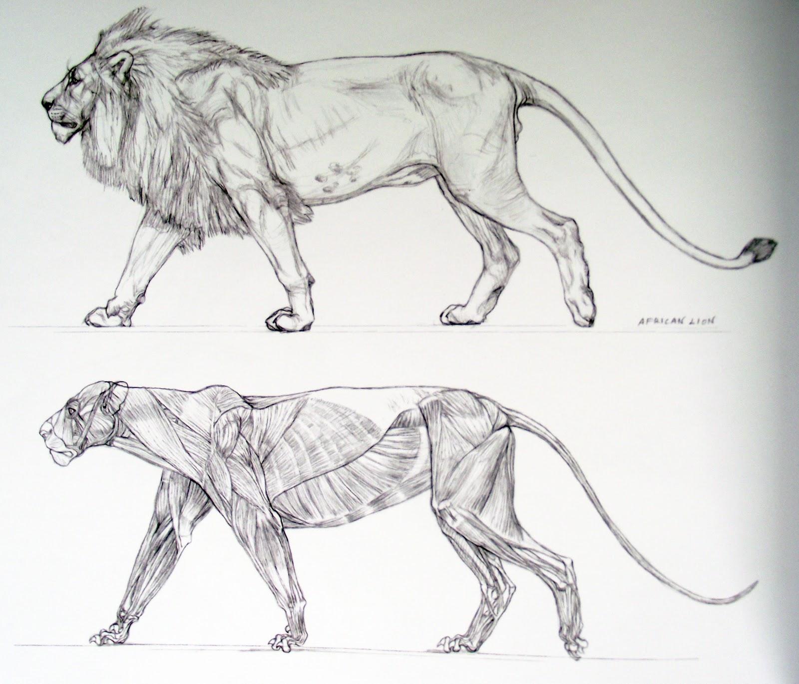 Super Anatomie Du Lion FB27 | Jornalagora SK85