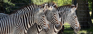 zebras in zoo COVER PHOTO FOR FACEBOOK
