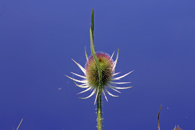 A Single Teasel