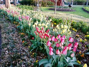 Tulips at the Arboretum