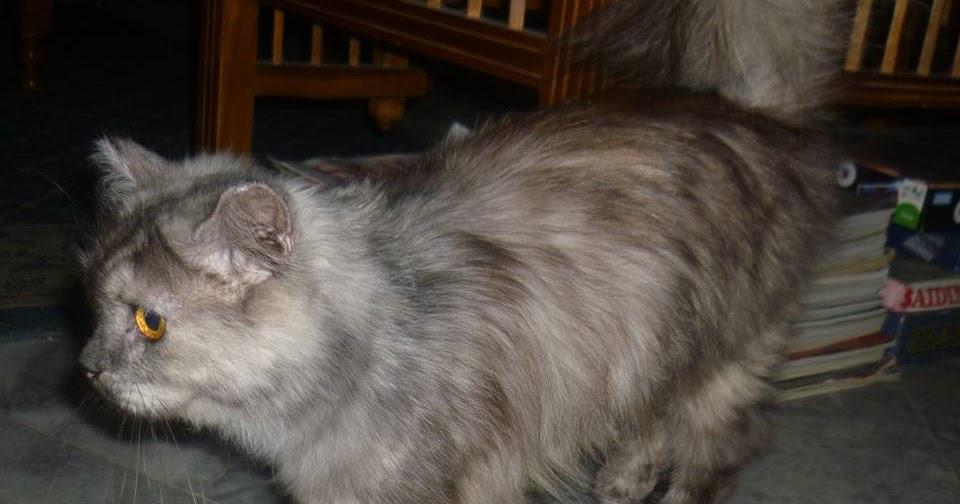 Kucing Utara Kenapa Kucing Menjilat Kemaluannya