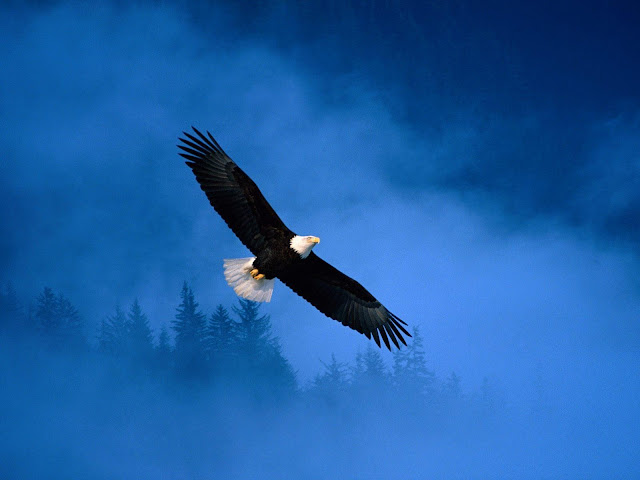Floating Eagle Long Wings Dark Blue Sky HD Wallpaper