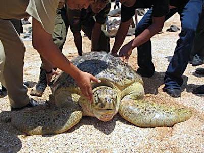 Sea turtles of Jemur Island