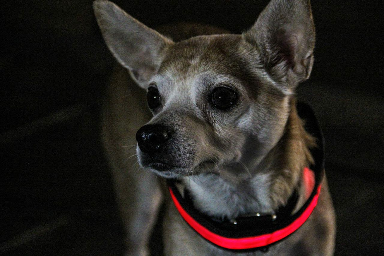 LED dog collar to keep your dog safe