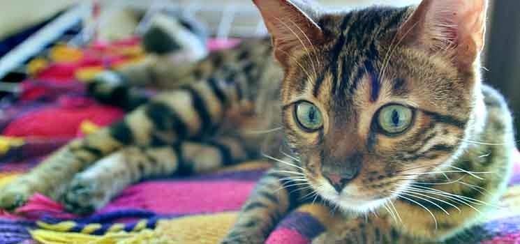 Kucing Bengal berbaring