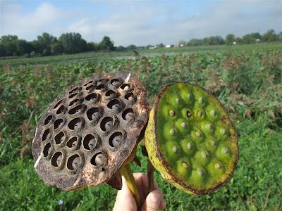 dead lotus seed pod