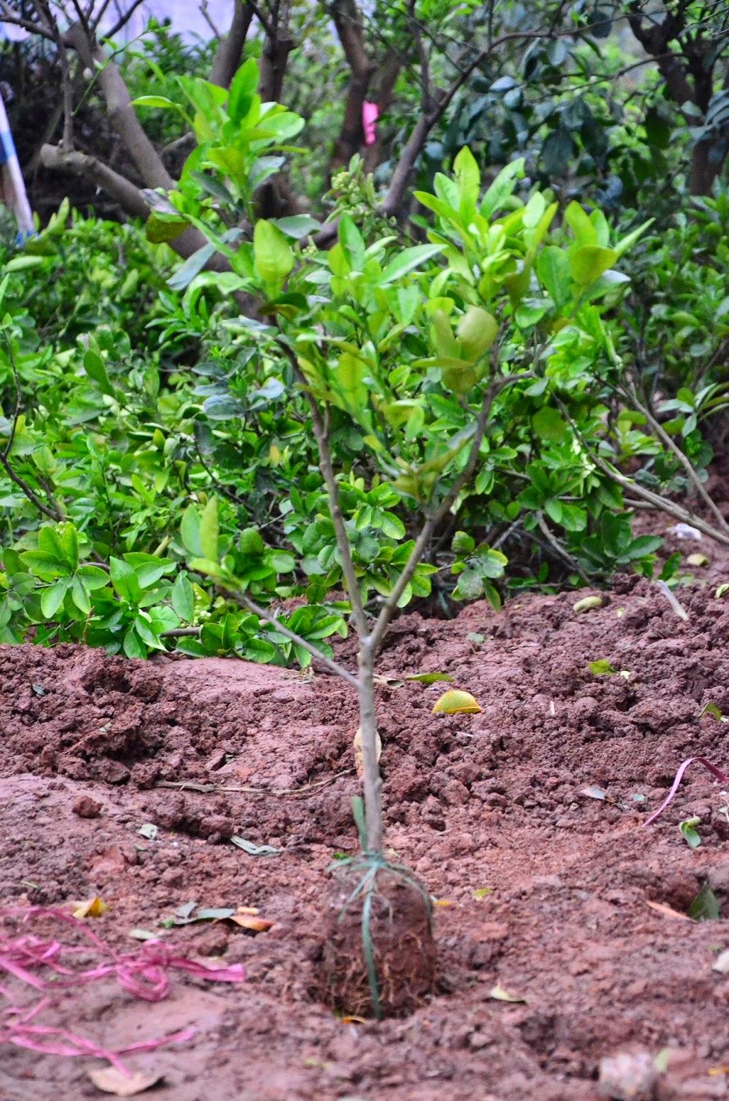 chọn cây giống bưởi rất quan trọng