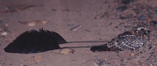 Standard-winged Nightjar Macrodipteryx longipennis by Jan Steffen