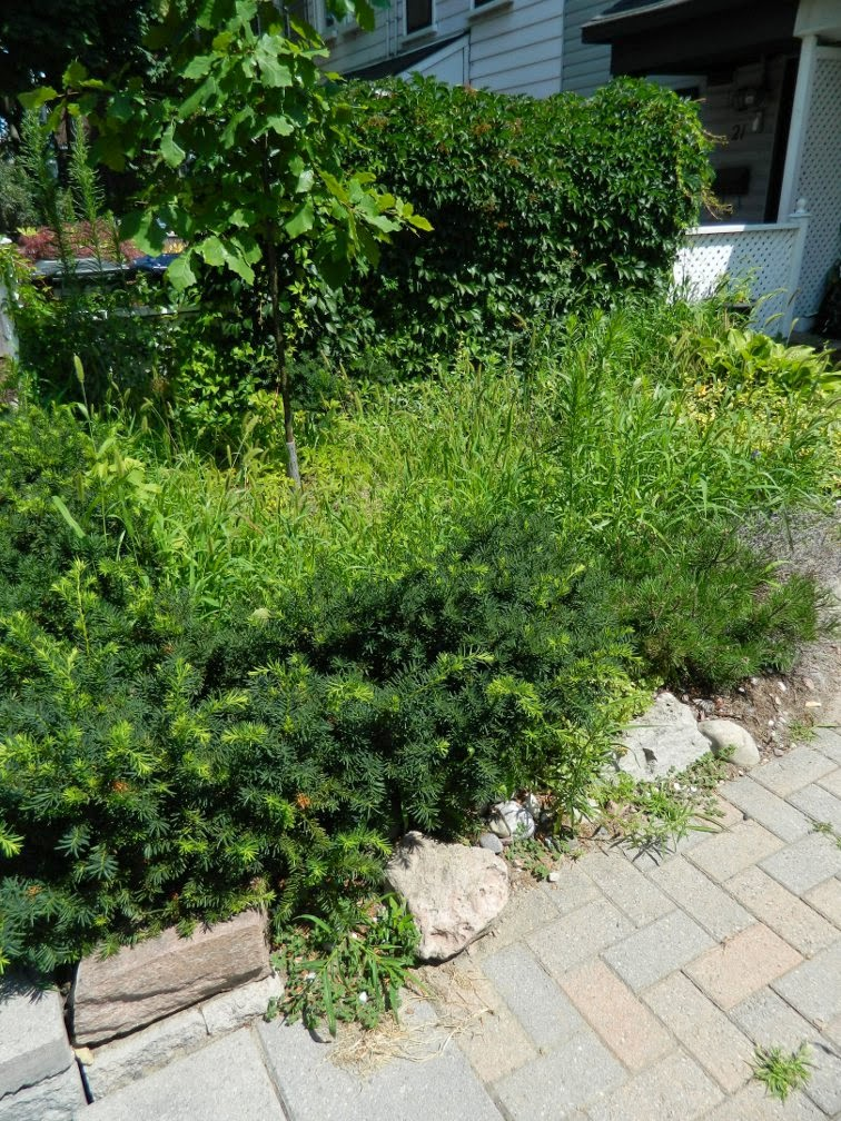 front yard  Leslieville garden cleanup before Paul Jung Gardening Services Toronto