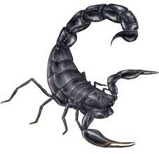 Escorpión o alacrán de Escocia