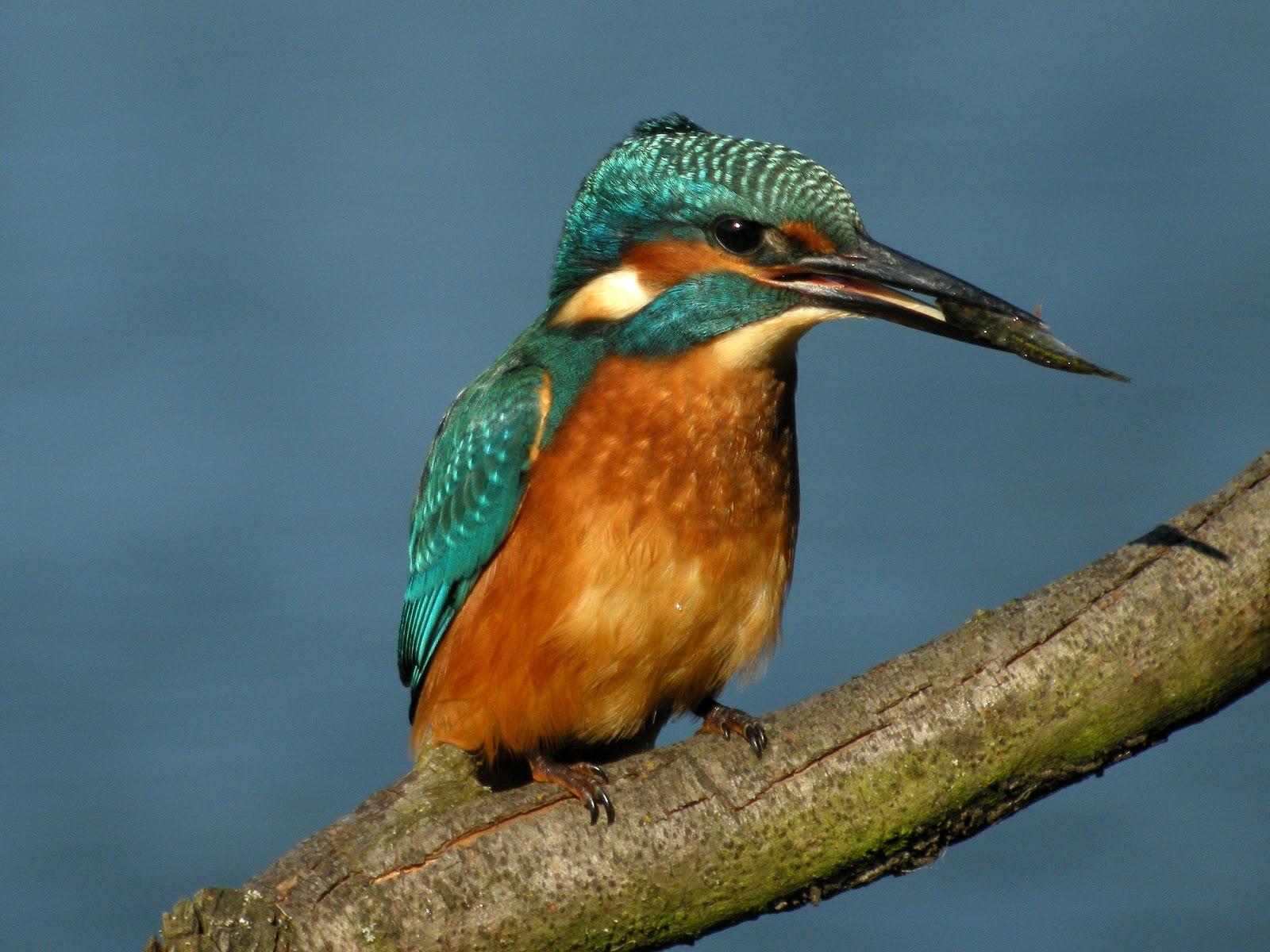 Col's Digiscope Blog: Kingfisher
