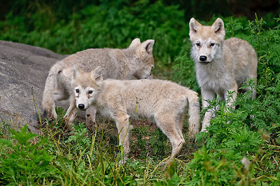 Arctic Wolf pictures and life in nature