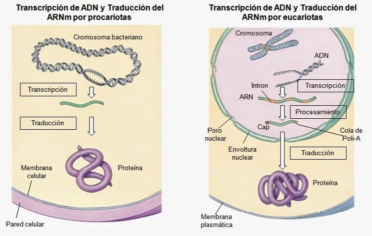 que hacen los esteroides en el embarazo